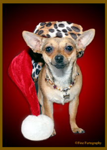 Chihuahua dog pet photo in Santa Hat at www.FineFurtography.com